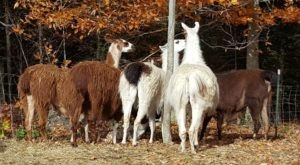 Cuddle The Most Adorable Rescued Farm Animals At Graze In Peace Farm Animal Sanctuary In Maine