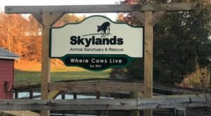 Cuddle The Most Adorable Rescued Farm Animals For Free At Skylands Animal Sanctuary In New Jersey