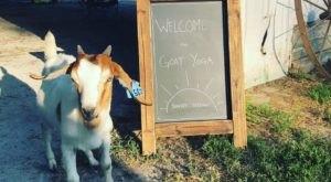 Take An Adorable Goat Yoga Class At Goat Yoga Of Missouri