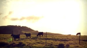 You Can View Wild Cows Roaming The Slopes Of Hawaii's Mauna Kea