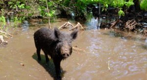 Hold Onto Your Garbage Because Feral Pigs Could Be On The Loose In Maine
