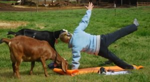 Take An Adorable Goat Yoga Class At Split Creek Farm In South Carolina