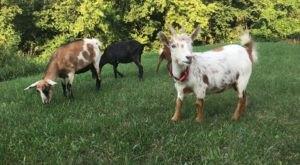 Take An Adorable Goat Yoga Class At Healing Acres Farm In Pennsylvania