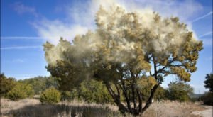 Mountain Cedar Season Has Arrived In Texas, And It's The Worst Pollen Of The Year