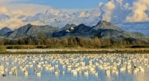 Celebrate The Migration Of Millions Of Birds At Northern California's Annual Snow Goose Festival