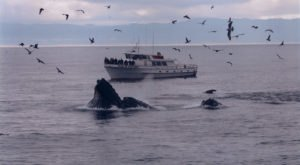 See Thousands Of Whales During Their Winter Migration On The Northern California Coast