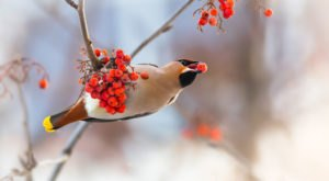 Thousands Of Bohemian Waxwings Invade The City Of Anchorage In Alaska Every Winter And It's A Sight To Be Seen