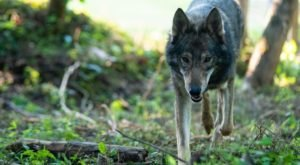 Get Up-Close-And-Personal With Wolfdogs At Refuge Ridge In Kentucky