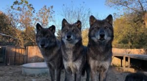 Get Up Close And Personal With Wolves At Wolf Creek Habitat In Indiana
