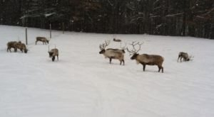 Meet Some Of Santa's Most Adorable Helpers When You Visit Reindeer Ranch In Michigan