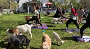 Find Inner Peace With Goat Yoga At Shepherd's Rest Goat And Sheep Rescue In Nebraska