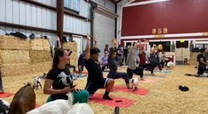 Take An Adorable Goat Yoga Class At Lemos Farm In Northern California