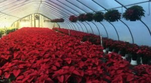 Explore A Wonderland Of Holiday Cheer At The Largest Poinsettia Nursery In Delaware, Jeff's Greenhouses