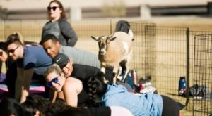 Take An Adorable Goat Yoga Class With Goat Yoga Las Vegas In Nevada
