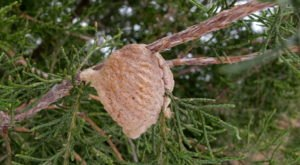 This Pinecone-Shaped Mass On Your Indiana Christmas Tree Could Be Home To Hundreds Of Praying Mantis Eggs