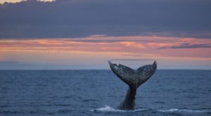 See Thousands Of Whales During Their Winter Migration On The Oregon Coast During Whale Watching Week