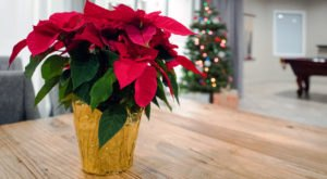 A Native South Carolinian, Joel Poinsett, Is Credited With Introducing The Poinsettia To North America In The 1820s