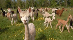 You Can Go Camping With Alpacas At Hidden Pastures Luxury Fiber Farm In New Jersey
