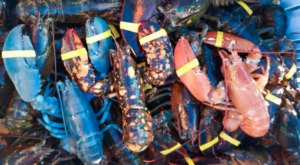 A Maine Fisherman Just Caught Three Rare Lobsters In One Haul