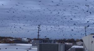 Up To 10,000 Crows Invade The City Of Nampa In Idaho Every Winter And It's A Sight To Be Seen