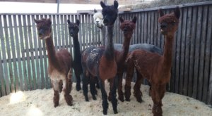 You Can Go Camping With Alpacas At Paca Hill Farm In New Hampshire