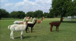 You Can Go Camping With Alpacas At Wagon Masters RV Park In Texas