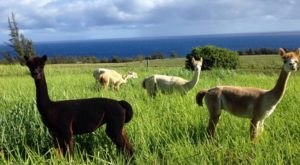 You Can Go Glamping With Alpacas At Ku'u Home Alpaca Ranch In Hawaii