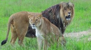 Get Up Close And Personal With Lions At The Wild Animal Sanctuary In Colorado