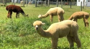 Fox Wire Alpaca Farm In Virginia Makes For A Fun Family Day Trip