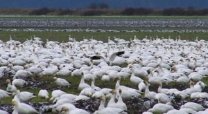 Up To 200,000 White Geese Invade The City Of Lamar In Colorado Every Winter And It's A Sight To Be Seen