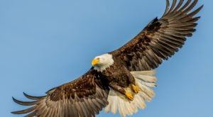 Marvel At Majestic Bald Eagles At The Dedicated Observatory In The Shepaug Dam In Connecticut