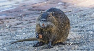 Watch Out For Nutria, A Rodent That Invaded Northern California And Kills Off Wetland Habitats