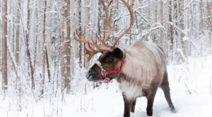 Go Hiking With Reindeer At Running Reindeer Ranch In Alaska For A Unique Adventure