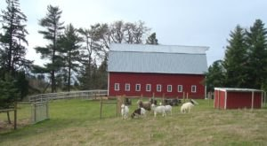 Cuddle The Most Adorable Rescued Farm Animals For Free At Green Acres Farm Sanctuary In Oregon