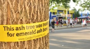 Watch Out For The Emerald Ash Borer, A Bug That Invaded Minnesota And Killed Off Thousands Of Trees