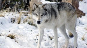 25 Years Ago, Wolves Were Re-Introduced To Wyoming In A Controversial Move That Affects The State Today