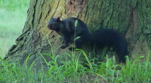 The Mystery Of The Escaped Black Squirrels Lives On In Marysville, Kansas