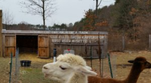 Living The Dream Alpaca Farm In Vermont Makes For A Fun Family Day Trip