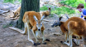 Help Support Australia With A Visit To Kentucky Down Under Adventure Zoo This Month