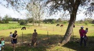 Humming Star Alpacas Alpaca Farm In Alabama Makes For A Fun Family Day Trip