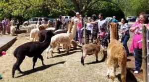 There's A Farm Full Of Alpacas In Georgia Called Creekwater Alpaca Farm And It's An Adorable Place To Visit