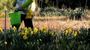 Visiting This U-Pick Daffodil Farm In South Carolina May Be The Most Beautiful Thing To Do This Winter