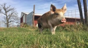Cuddle The Most Adorable Rescued Farm Animals At Iowa Farm Sanctuary