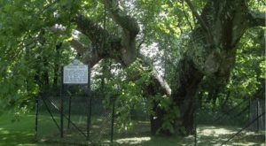 There's No Other Historical Landmark In West Virginia Quite Like This 300-Year-Old Tree