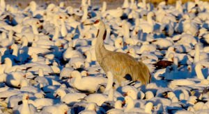 Thousands Of Sandhill Cranes Invade The City Of San Antonio In New Mexico Every Winter And It's A Sight To Be Seen