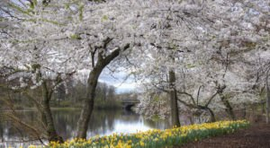 The Essex County Cherry Blossom Festival Will Have Over 4,000 Trees In Bloom This Spring