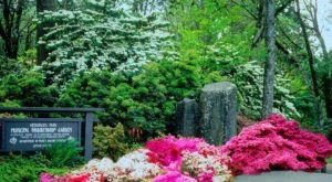 Over 6,000 Different Varieties Of Rhododendrons Bloom At Hendricks Park In Oregon