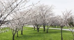 The Missouri Cherry Blossom Festival Will Have Countless Trees In Bloom This Spring