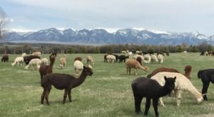 Take A Ranch Tour At Alpacaland In Montana For An Adorable Experience