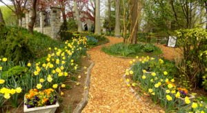 One Of The Best Spots To Enjoy Daffodils Is Actually At Whipps Garden Cemetery, A Hidden Gem In Maryland